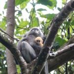 dusky leaf monkey_fauna